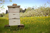 Apple's Orchards in Bee Hives
